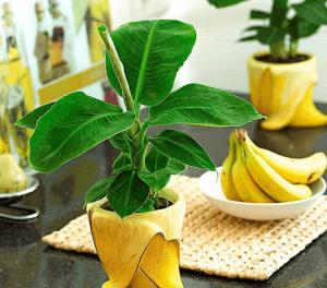 Банан это одно из многолетних растений