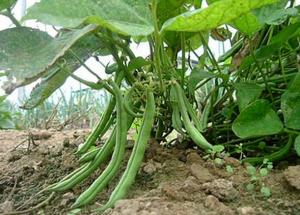 Фасоль - кладезь питательных веществ