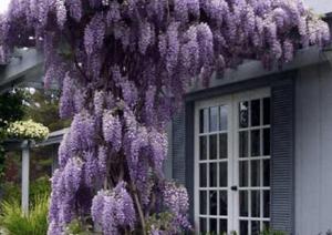 Цветущие лианы способны образовать красивейшее укрытие из своих цветков