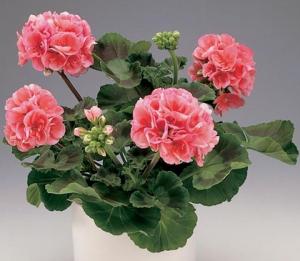 Цветок наших бабушек снова на пике популярности