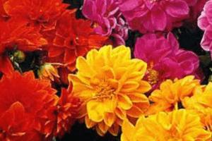 Однолетние георгины украшают клумбы осенью