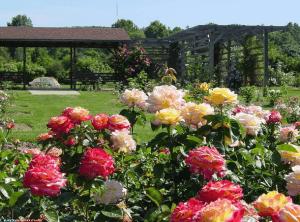 Яркие розы на зеленом газоне