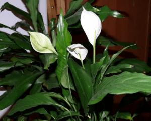 Спатифиллум в цвету