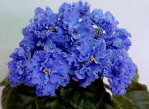 Цветение сортовой фиалки
