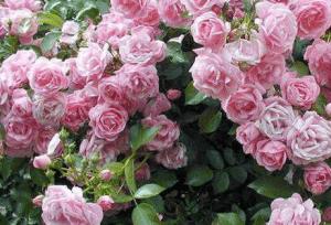 Участок с кустами роз