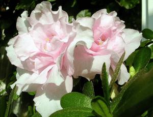 Азалия цветет круглый год с небольшими перерывами