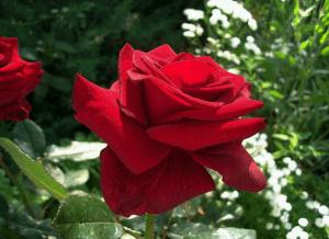Красная роза в саду