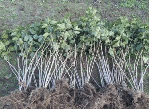 Какой посадочный материал - такие и урожаи