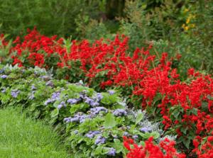 Красная сальвия в ландшафтном дизайне