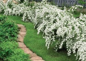 Оформление дорожки цветущим кустарником