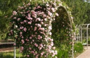 Плетистые розы на полукруглой конструкции