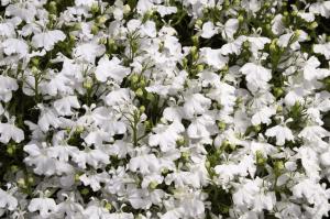 Растение обладает и лечебными свойствами