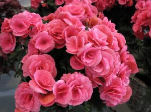 Цветущая бегония напоминает розовый куст в миниатюре