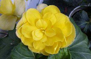 Желтый цветок во всем своем великолепии