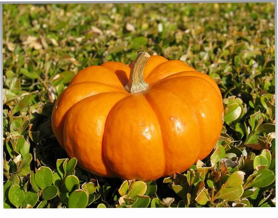 Тыква - некоторые советы по выращиванию и уходу