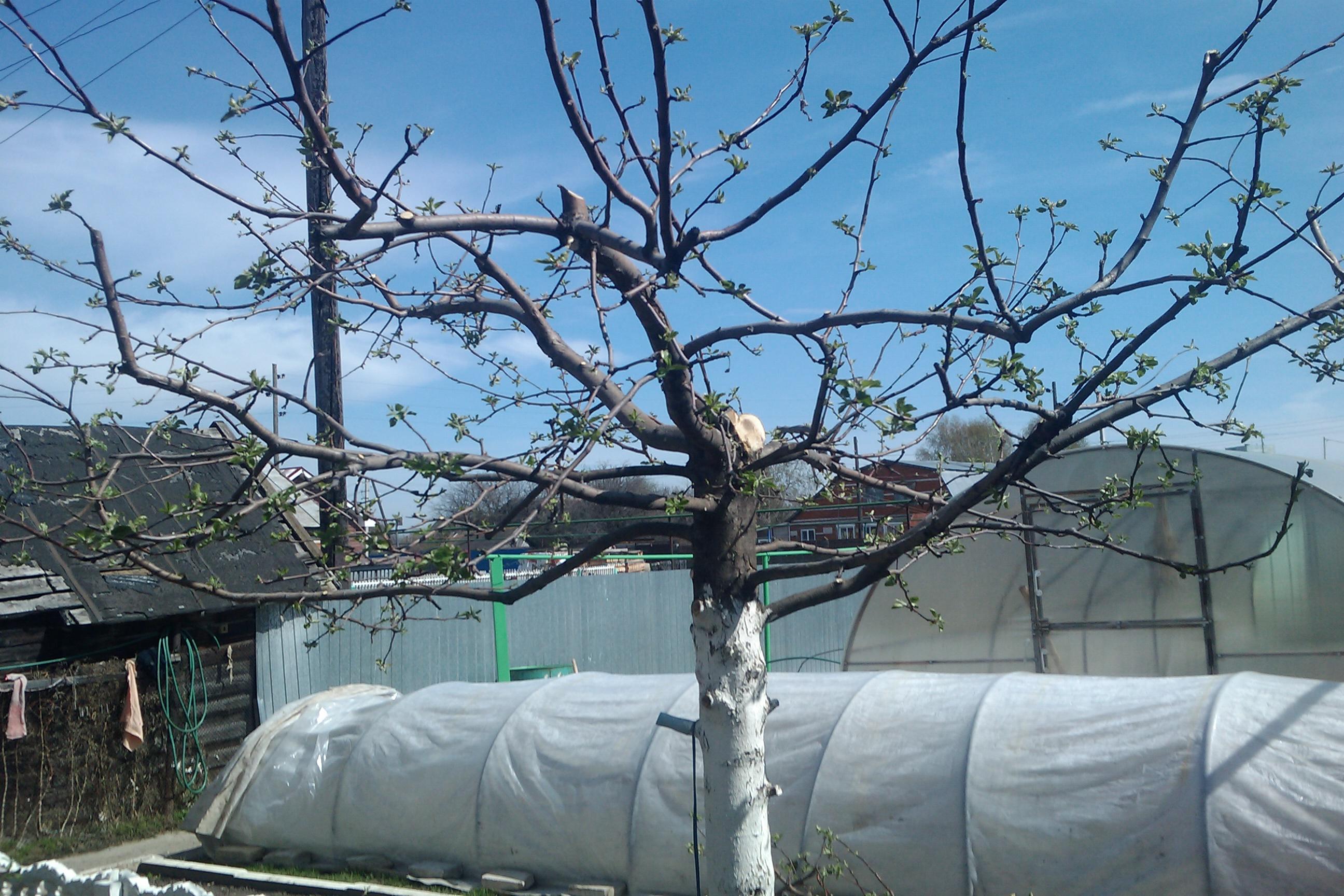 Обрезка яблонь весной — основные рекомендации