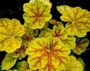 Черенкование производится как до, так и после цветения куста