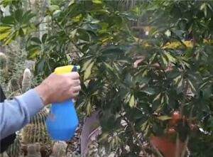 Умеренный полив и опрыскивание шеффлеры - залог благополучия растения