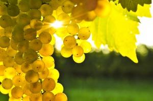 Ягоды винограда можно употреблять в пищу