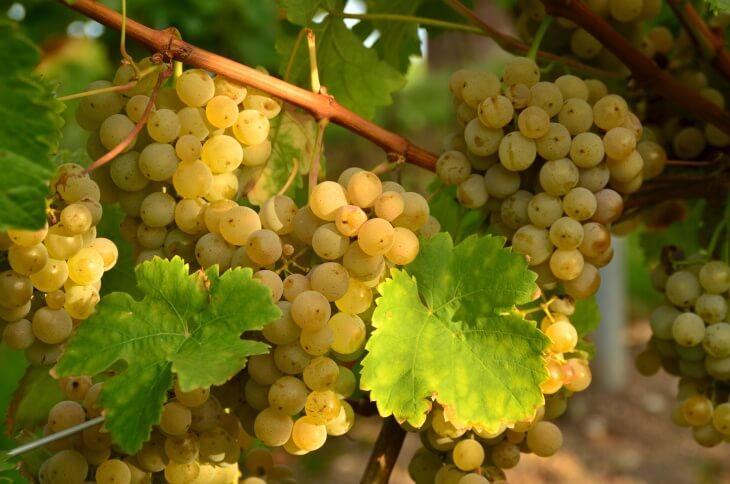Стоит выбирать специальный виноград, который подойдет для морозов