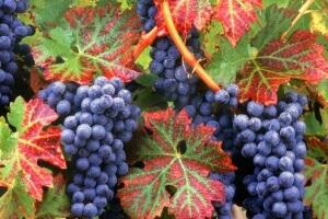 Выращивание винограда - непростой процесс