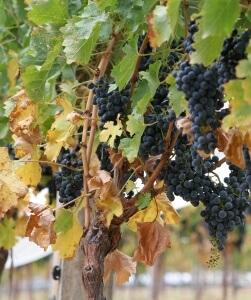 Винограду просто необходимы удобрения для хорошего плодоношения