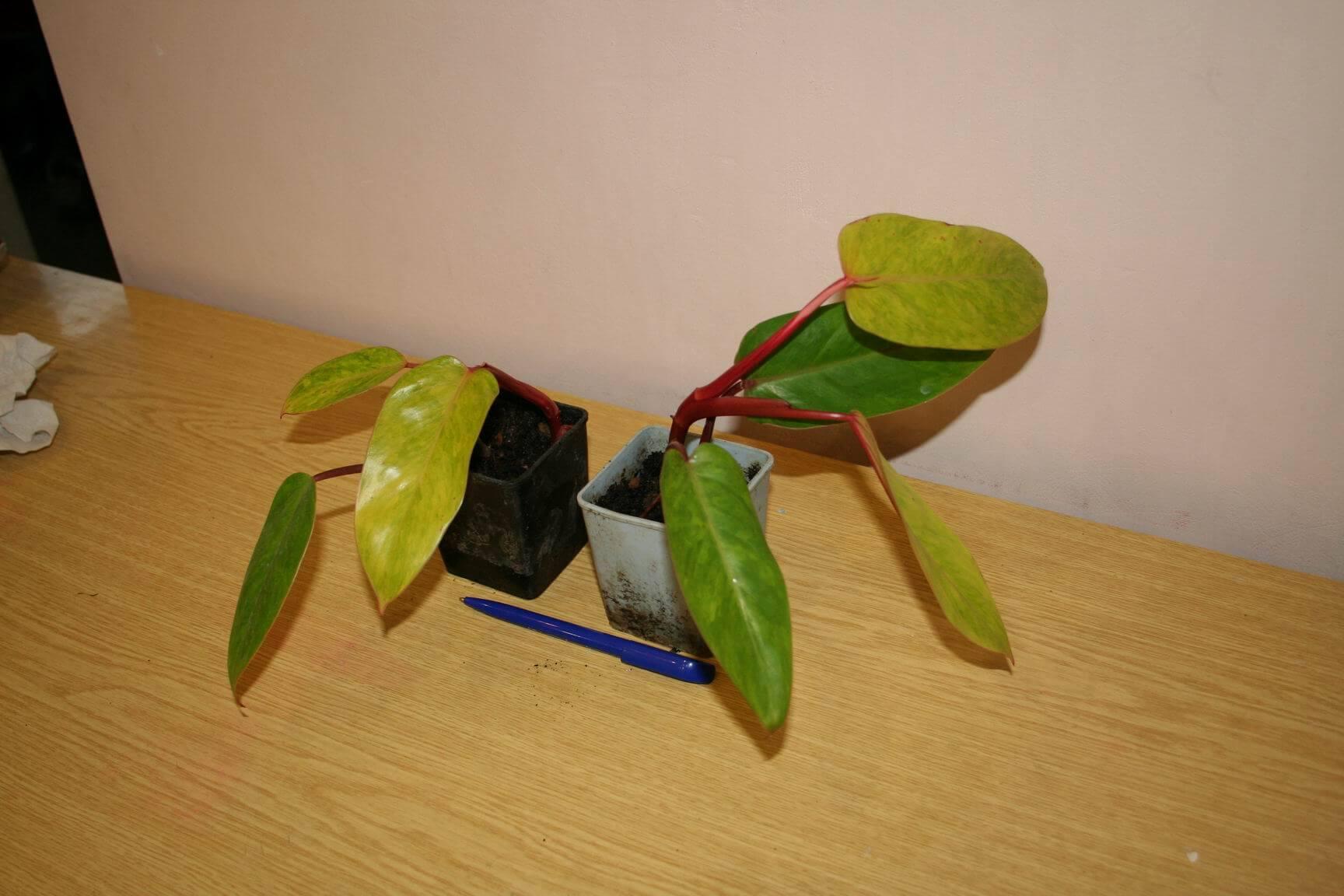 Филодендрон краснеющий — характеристика, размножение и уход