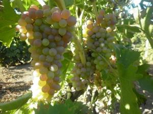 Из винограда можно делать как сок, так и просто добавлять в пищу