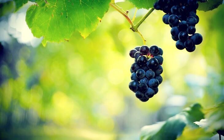 Если правильно удобрять виноград, результат превзойдет ваши ожидания