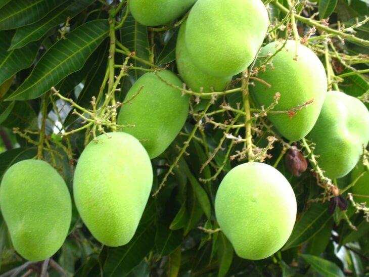 Дерево манго может достигать в высоту 25 метров