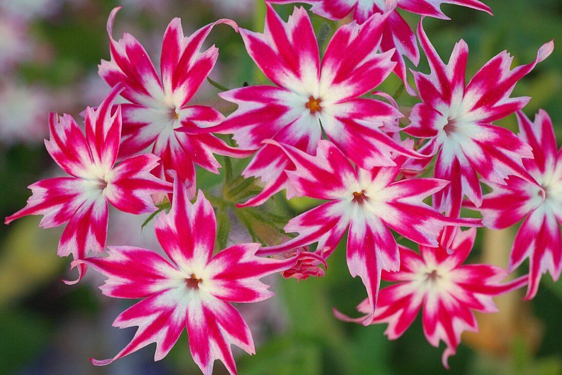 Неприхотливые цветы для дачи — их сорта
