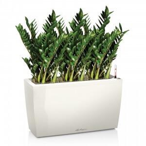 Замиокулькас – живое растение с восковыми листьями, размножение, уход, применение