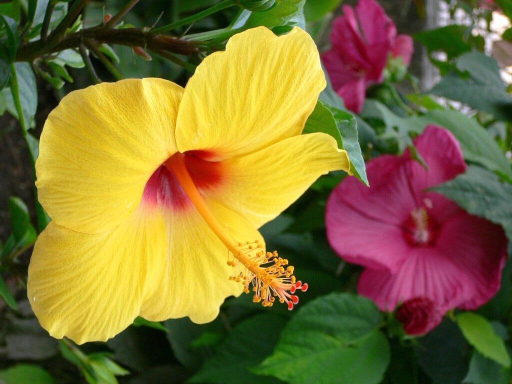 Гибискус семейства Мальвовых - уход и выращивание в саду и дома