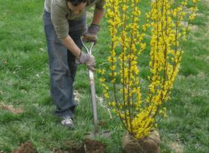 Как только высадите кустарник, то обильно полейте его