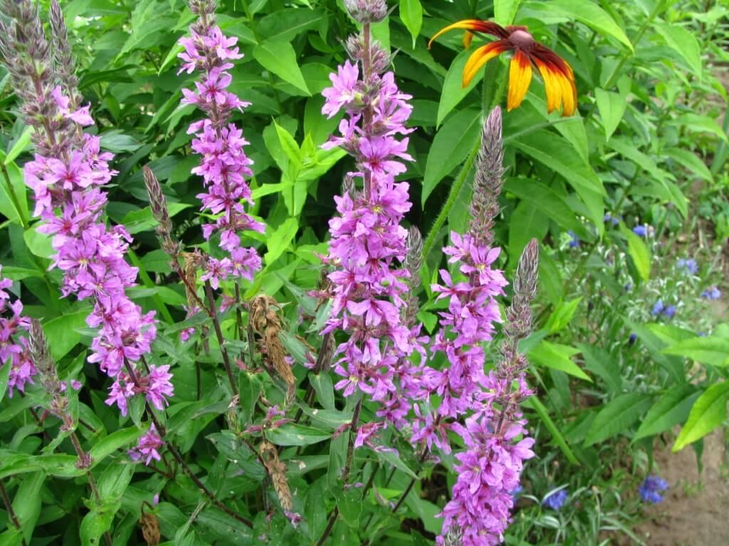 Вика-растение, описание, особенности ухода, использование