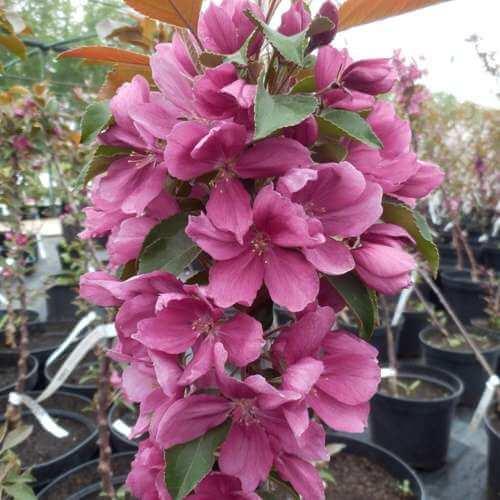 Чтобы нормировать количество урожая, лишние цветки обильно цветущей яблони нужно удалять