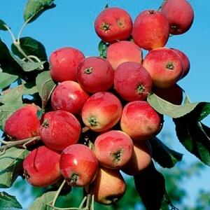Урожайность колоновидных яблонь очень высокая