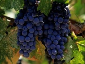 Когда почва хорошо прогреется виноград можно высаживать в открытый грунт