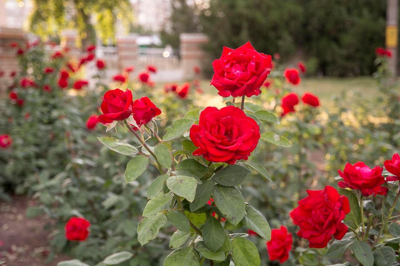 Как хранить розы в домашних условиях?