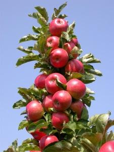 Во избежание заболеваний обрабатывайте яблоню серой