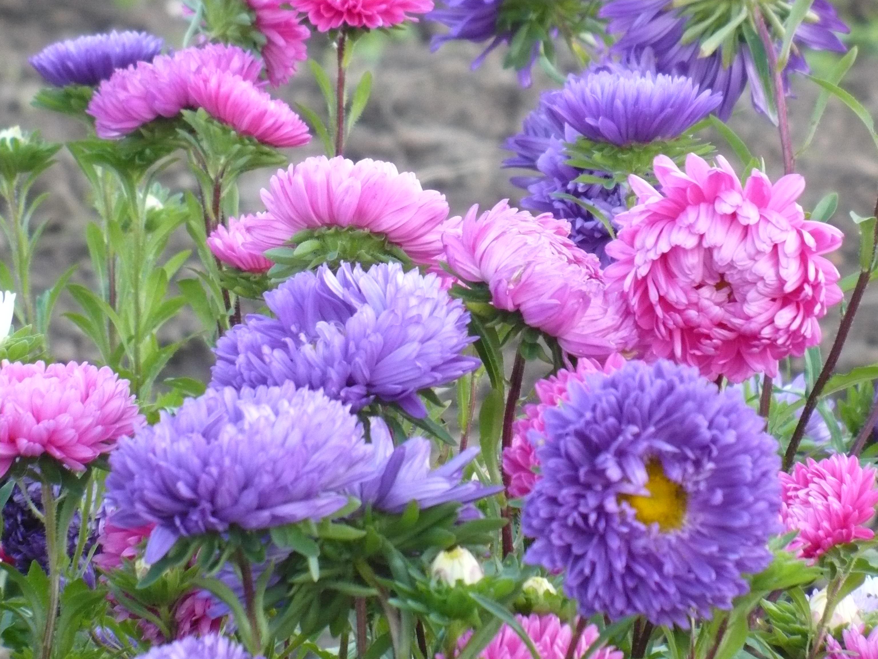 Садовые однолетние цветы — популярные сорта