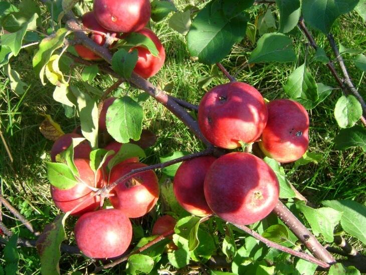 Яблоки Лобо - это поздносозревающий сорт