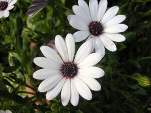 Среднерослые растения помогают создать цветник