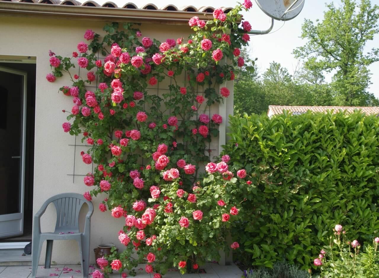 Плетистые розы, посадка и уход за этими красавицами