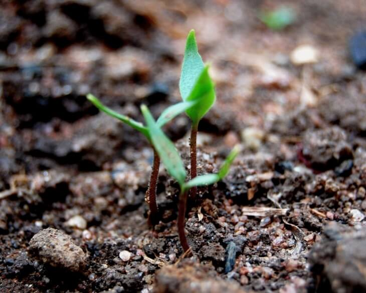 Черви могут частично оголять корни растения