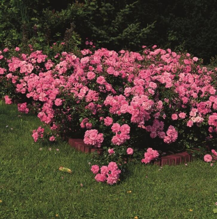 Почвопокровные розы разрастаются в ширину