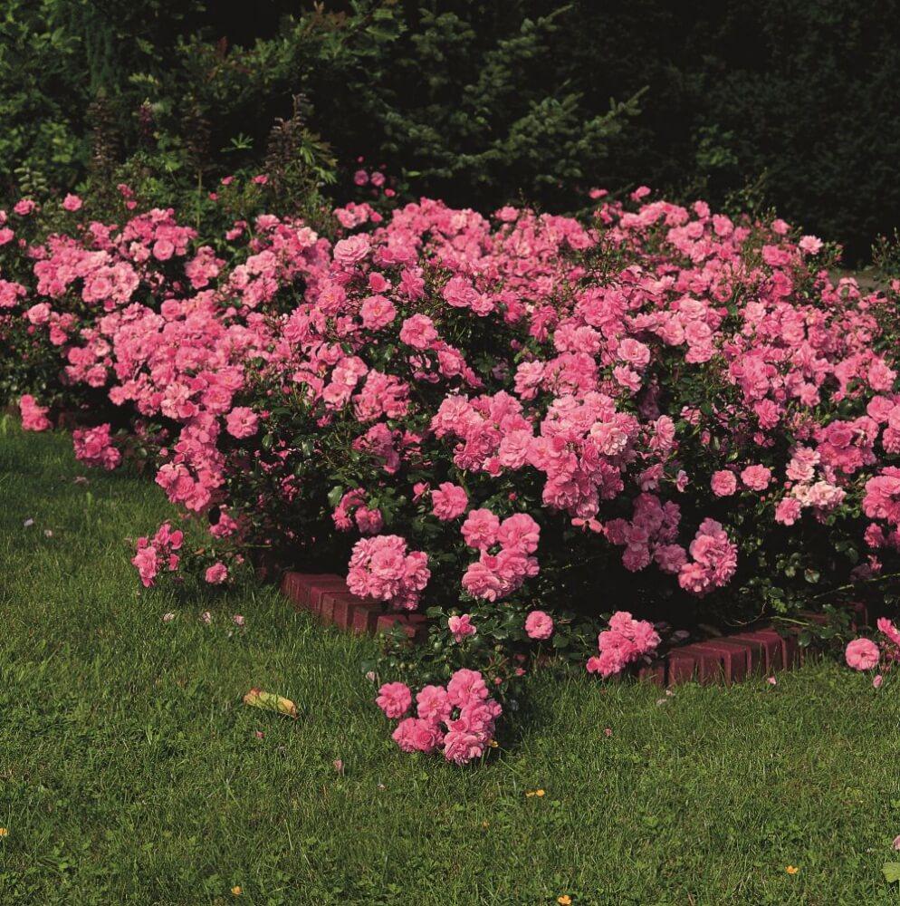 Почвопокровные розы - сорта, выращивание и применение