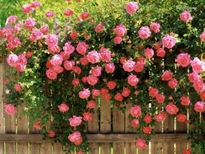 Выбор сортов роз очень богат