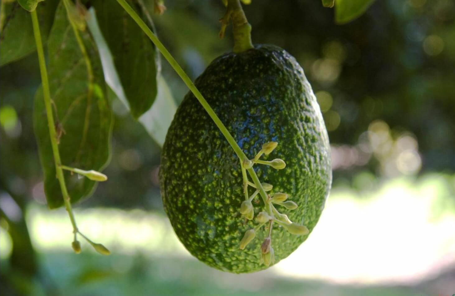 Как вырастить авокадо в домашних условиях - особенности ухода