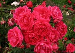 Почвопокровными розами можно украшать беседки